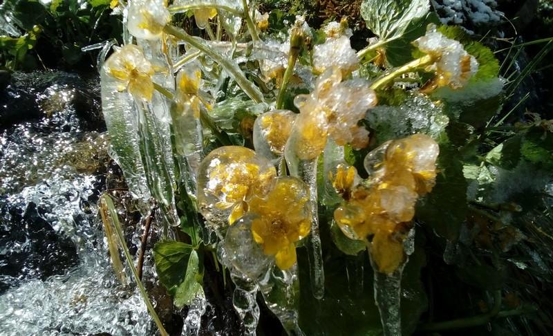 Замерзші квіти в Карпатах